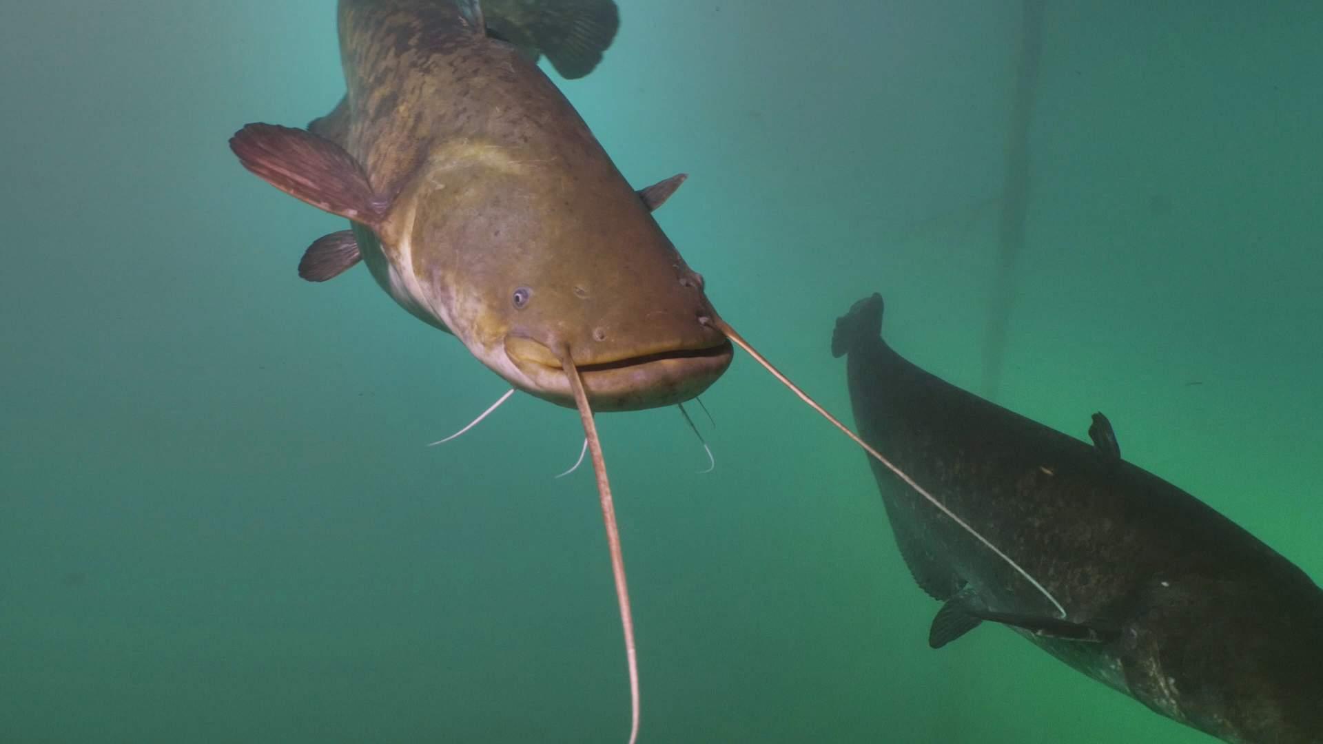 Was ist ein Catfish oder Wels ? | Traum Urlaub Florida
