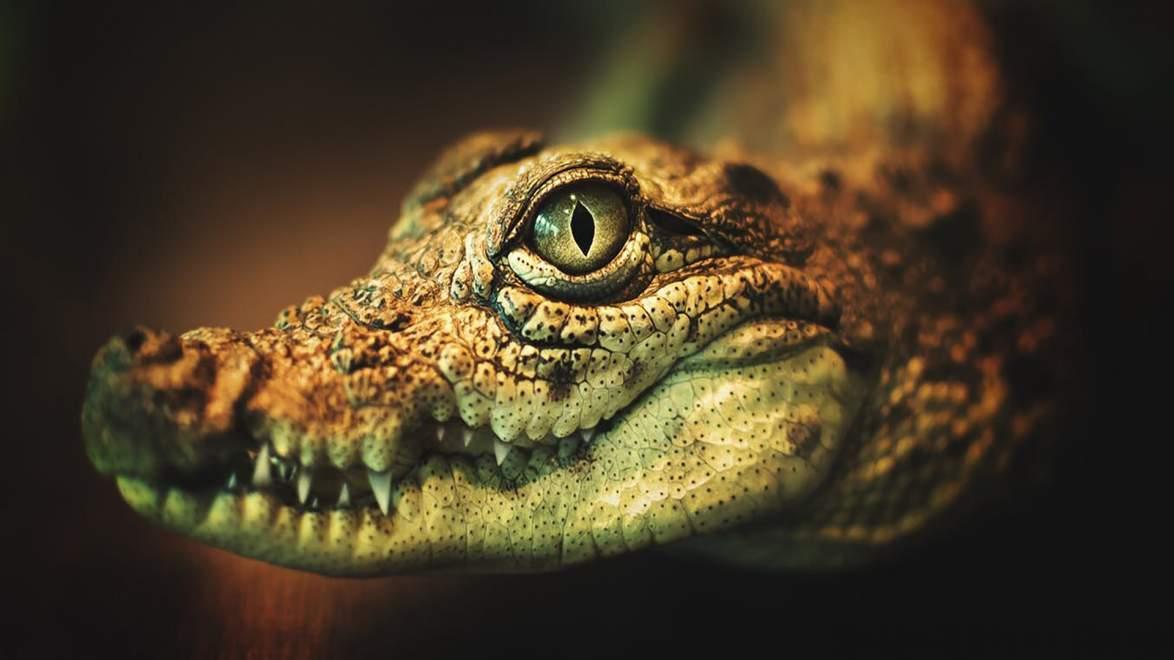 Traum Krokodil